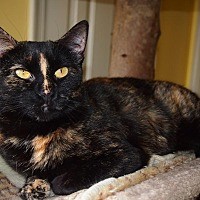 Domestic Shorthair Cat for adoption in Stevensville, Maryland - Lilly