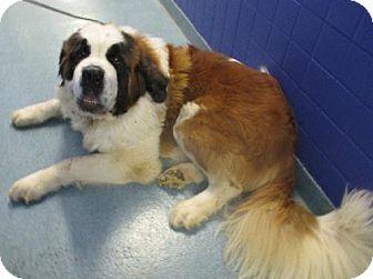 St. Bernard Dog for adoption in Pittsburgh, Pennsylvania - Henry