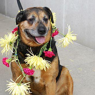 Rottweiler Mix Dog for adoption in Detroit, Michigan - Dug