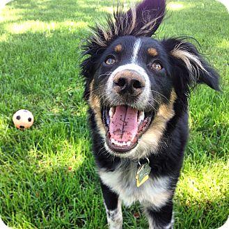 Australian Shepherd Dog for adoption in Minneapolis, Minnesota - Porter