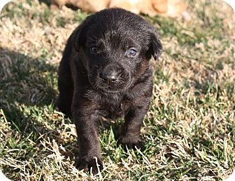 Labrador Retriever Mix Puppy for adoption in Henderson, Nevada - Kingston