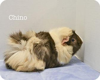 Guinea Pig for adoption in West Des Moines, Iowa - Chino
