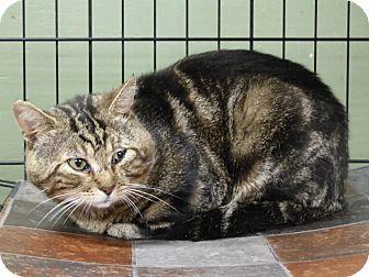 Domestic Shorthair Cat for adoption in Marlinton, West Virginia - Felix