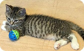 Domestic Shorthair Kitten for adoption in Loogootee, Indiana - Peeta