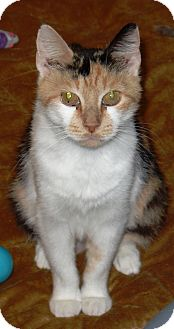 Domestic Shorthair Cat for adoption in Kalamazoo, Michigan - Marcie