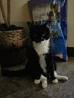 Domestic Shorthair Cat for adoption in Burnham, Pennsylvania - Hoppy