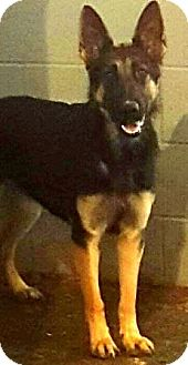 German Shepherd Dog Dog for adoption in Oswego, Illinois - I'M ADOPTED Gabrielle