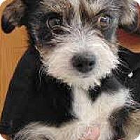 Adopt A Pet :: Zurich-ADOPTION PENDING - Boulder, CO