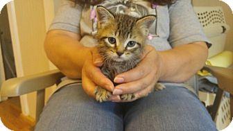 American Shorthair Kitten for adoption in Avon, New York - Harry