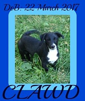 Schnauzer (Standard) Mix Puppy for adoption in Manchester, New Hampshire - CLAWD
