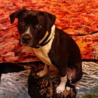 Adopt A Pet :: *ANDREW - Upper Marlboro, MD
