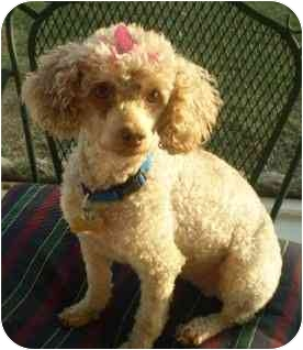 Miniature Poodle Mix Dog for adoption in Melbourne, Florida - AUBREY