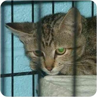 Domestic Shorthair Kitten for adoption in Fulton, Missouri - Lisa