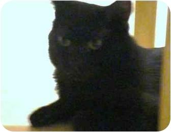 Domestic Shorthair Cat for adoption in Sacramento, California - Orion