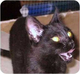 Domestic Shorthair Cat for adoption in Tillamook, Oregon - Matilda