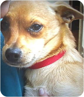 Chihuahua Mix Dog for adoption in Afton, Tennessee - Tyson