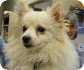 Pomeranian Puppy for adoption in San Clemente, California - ISAIAH