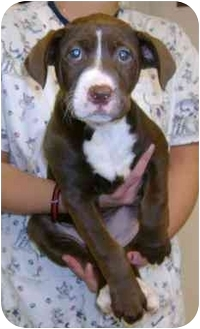 Labrador Retriever/German Shorthaired Pointer Mix Puppy for adoption in Molalla, Oregon - Hershey