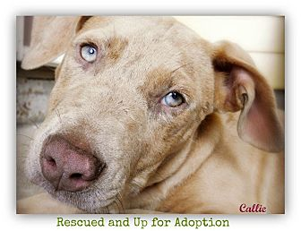 American Pit Bull Terrier Dog for adoption in Pascagoula, Mississippi - Callie