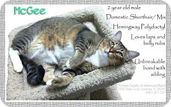 Domestic Shorthair Cat for adoption in Sarasota, Florida - McGee