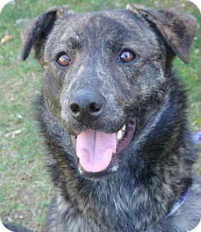 Shepherd (Unknown Type)/Collie Mix Dog for adoption in Red Bluff, California - Abel-URGENT