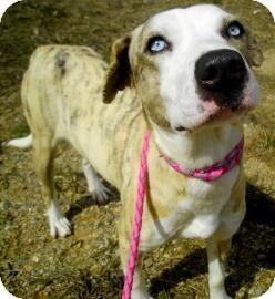 Australian Shepherd/Pointer Mix Dog for adoption in Lincolnton, North Carolina - Smiley