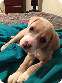 Shepherd (Unknown Type)/Labrador Retriever Mix Puppy for adoption in Gainesville, Florida - Nala