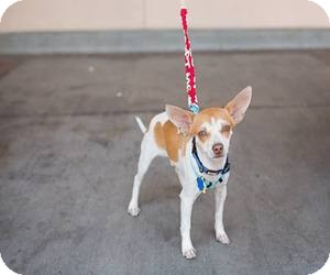 Chihuahua Mix Dog for adoption in Las Vegas, Nevada - Timmy