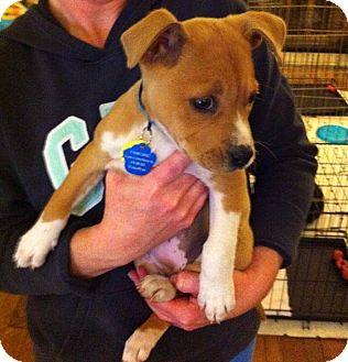Boxer/Labrador Retriever Mix Puppy for adoption in Kimberton, Pennsylvania - Selena