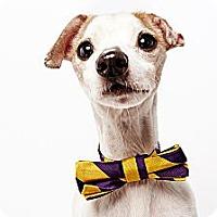 Adopt A Pet :: Speedy - New York, NY