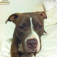 Adopt A Pet :: Matty, embassador of the breed - Sacramento, CA