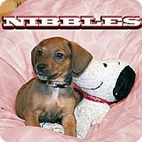 Adopt A Pet :: Nibbles - Grand Rapids, MI