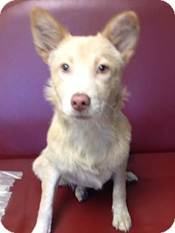 German Shepherd Dog Mix Puppy for adoption in Groton, Massachusetts - Gabby