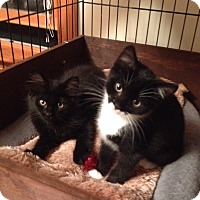 Adopt A Pet :: Rambler - Portland, ME
