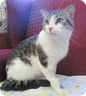 Domestic Shorthair Cat for adoption in Lloydminster, Alberta - Annex