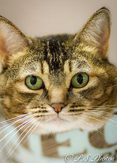Abyssinian Cat for adoption in Belton, Missouri - Jules