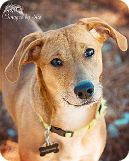 Beagle/Labrador Retriever Mix Dog for adoption in O Fallon, Illinois - Walter