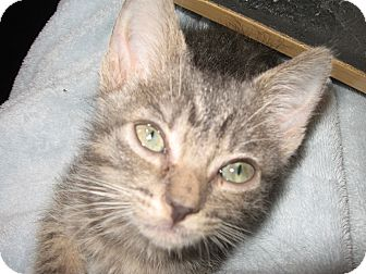 Domestic Shorthair Kitten for adoption in Fallon, Nevada - Vinnie