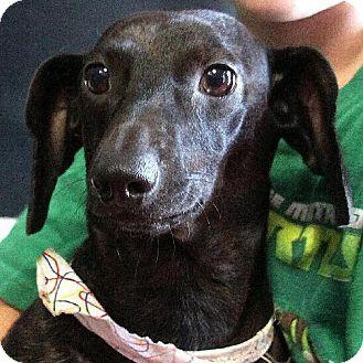 Dachshund Dog for adoption in Winder, Georgia - Tiger