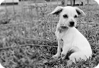 Terrier (Unknown Type, Medium)/Chihuahua Mix Dog for adoption in Houston, Texas - Janet