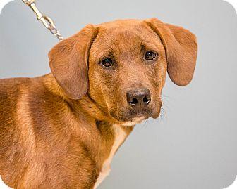 Labrador Retriever/Hound (Unknown Type) Mix Dog for adoption in Staunton, Virginia - Cinnamon