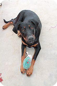 Doberman Pinscher/Hound (Unknown Type) Mix Dog for adoption in Nuevo, California - Casey