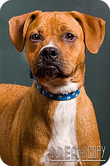 Boxer/Hound (Unknown Type) Mix Puppy for adoption in Owensboro, Kentucky - Copper