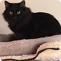 Domestic Mediumhair Cat for adoption in Alpharetta, Georgia - Fuzzy