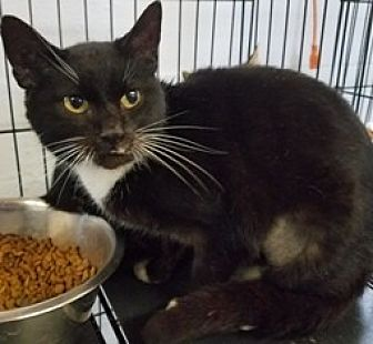 Domestic Shorthair Cat for adoption in Sistersville, West Virginia - Lacey