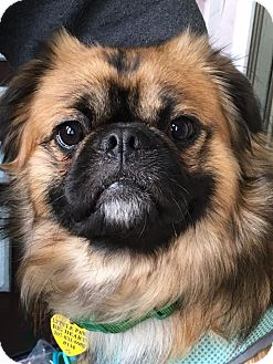 Pekingese Mix Dog for adoption in Portland, Maine - Frankie
