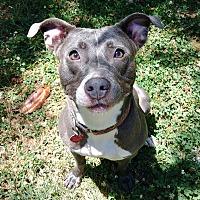 Pit Bull Terrier Mix Dog for adoption in Charlotte, North Carolina - Violet