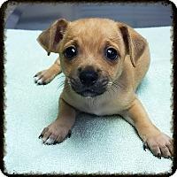 Adopt A Pet :: Ruffles - Los Alamitos, CA