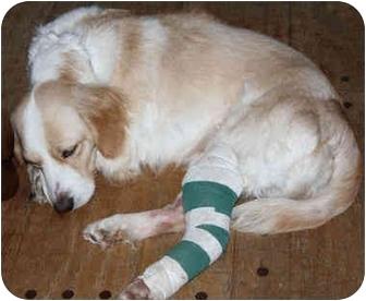 Brittany/Cocker Spaniel Mix Dog for adoption in Lamar, Nebraska - Echo - Needs a Sponser