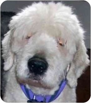 Old English Sheepdog Dog for adoption in Lincoln, Massachusetts - Bentley & Winston